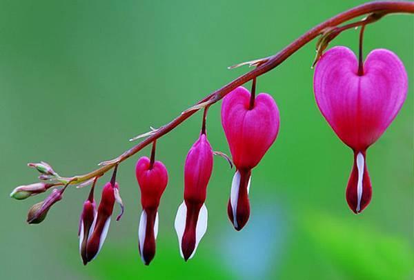4杉林溪牡丹花