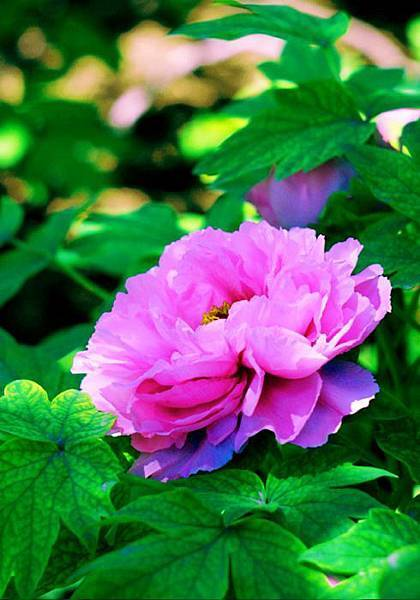 9杉林溪牡丹花