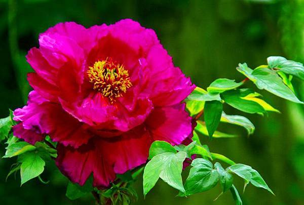 13杉林溪牡丹花