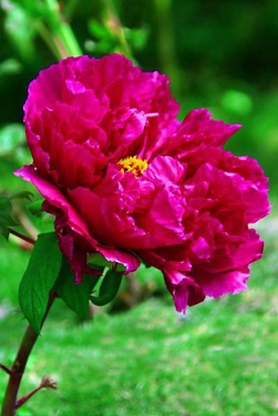 15杉林溪牡丹花