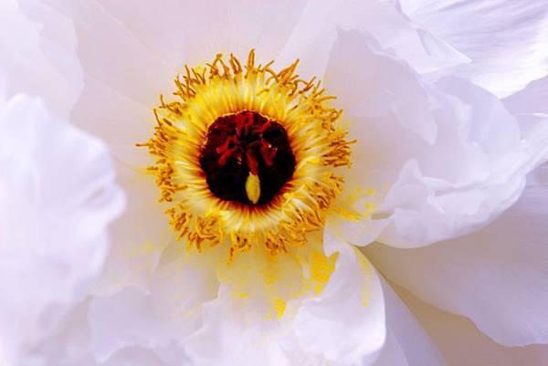 17杉林溪牡丹花