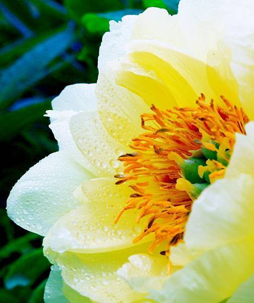 16杉林溪牡丹花