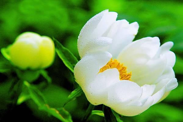 18杉林溪牡丹花