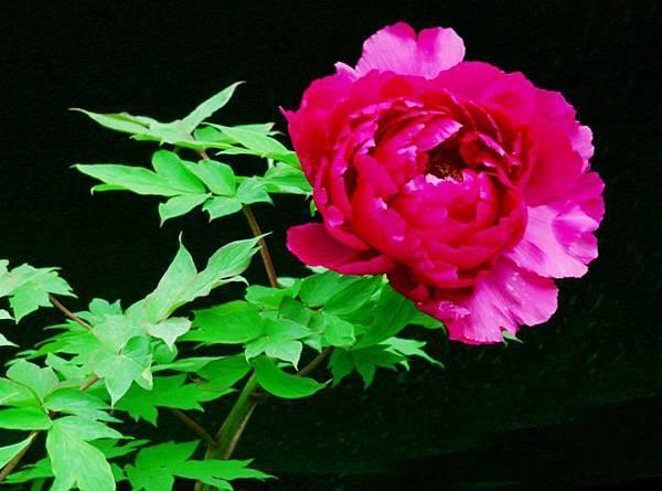 6-1杉林溪牡丹花