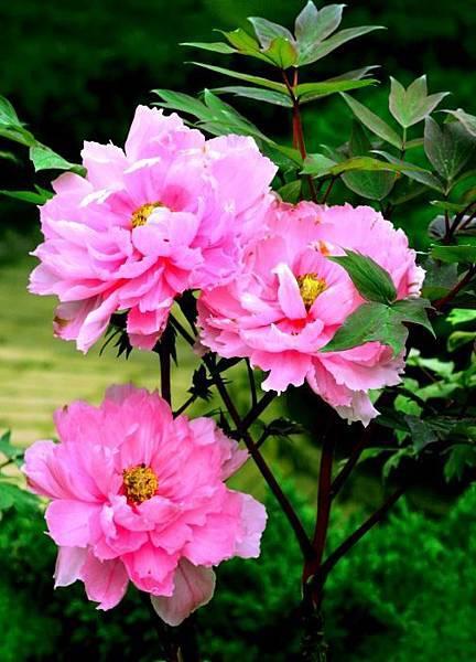 3杉林溪牡丹花