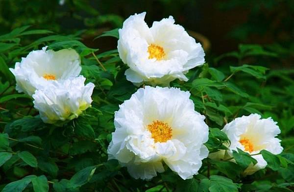 1杉林溪牡丹花
