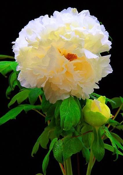 7-1杉林溪牡丹花