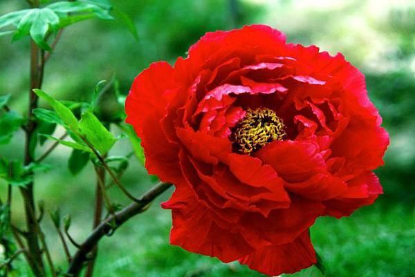 6杉林溪牡丹花