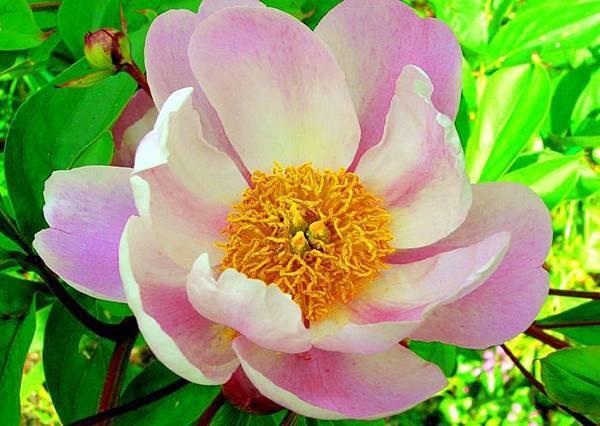 8杉林溪牡丹花