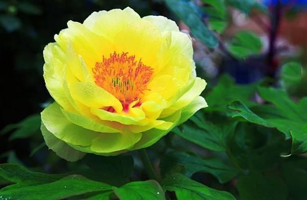 7杉林溪牡丹花