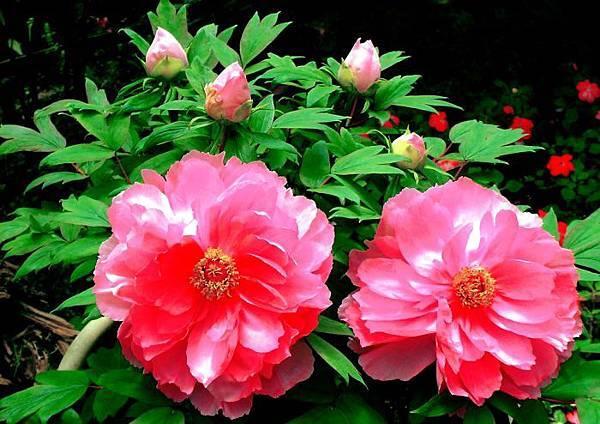 12杉林溪牡丹花