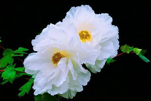 10-1杉林溪牡丹花