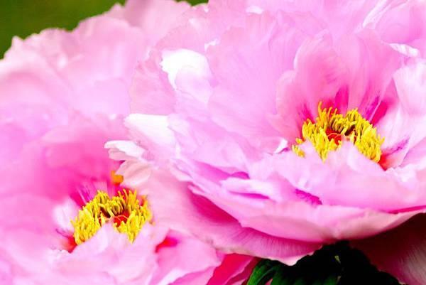 11杉林溪牡丹花
