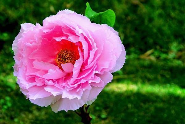 14杉林溪牡丹花