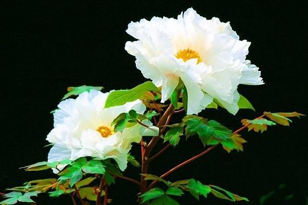 10杉林溪牡丹花