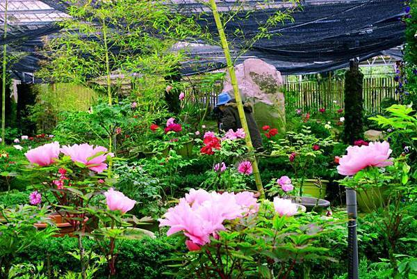 20杉林溪牡丹花