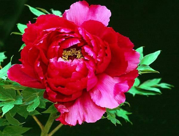 19杉林溪牡丹花