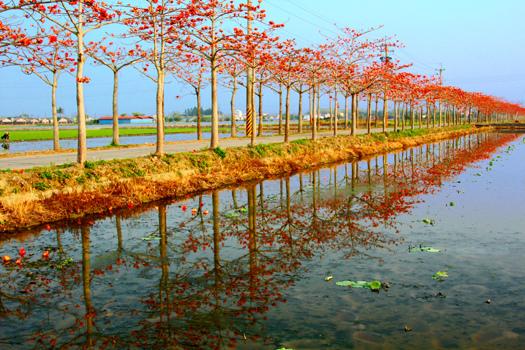 15白河鎮玉豐里木棉花道