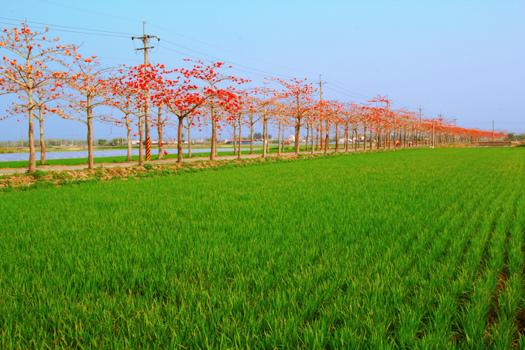 38白河鎮玉豐里木棉花道