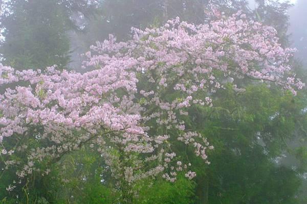 8阿里山美的誘惑  賞櫻
