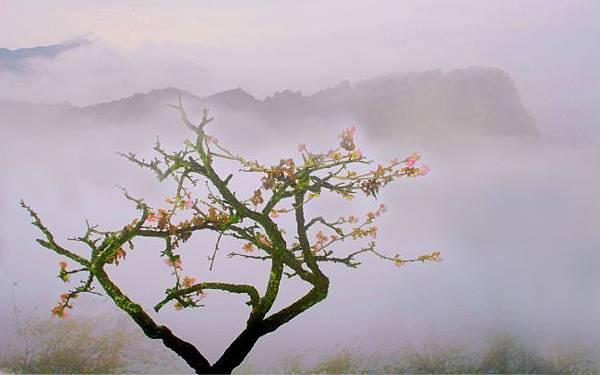 9阿里山美的誘惑  賞櫻