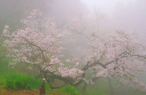7阿里山美的誘惑  賞櫻