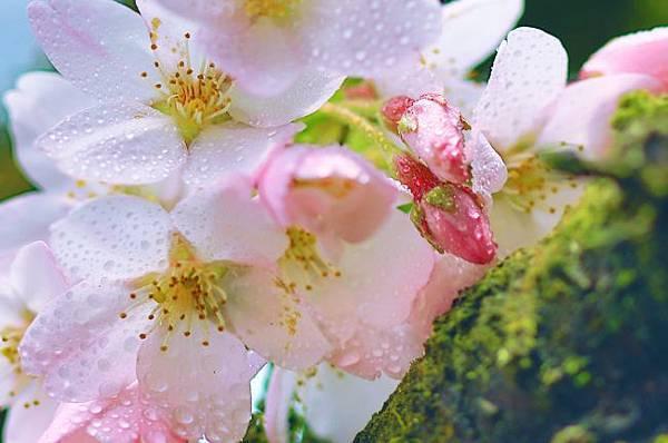 15阿里山美的誘惑  賞櫻