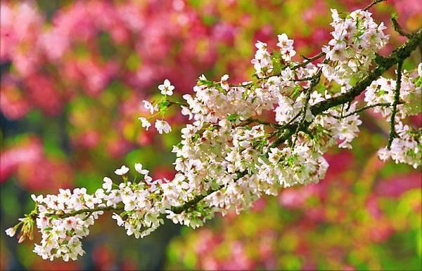 12阿里山美的誘惑  賞櫻
