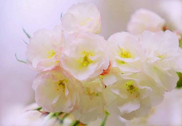 14阿里山美的誘惑  賞櫻