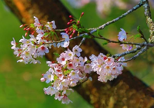 16阿里山美的誘惑  賞櫻
