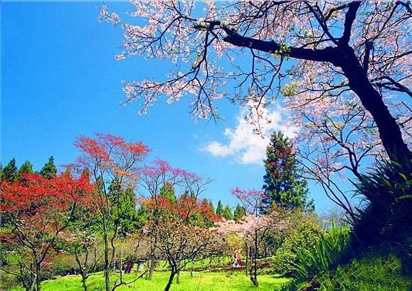17阿里山美的誘惑  賞櫻