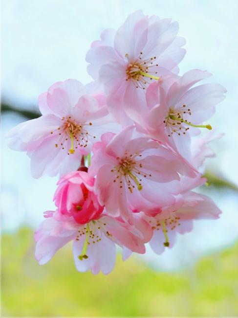 10詩情畫意的櫻花   三