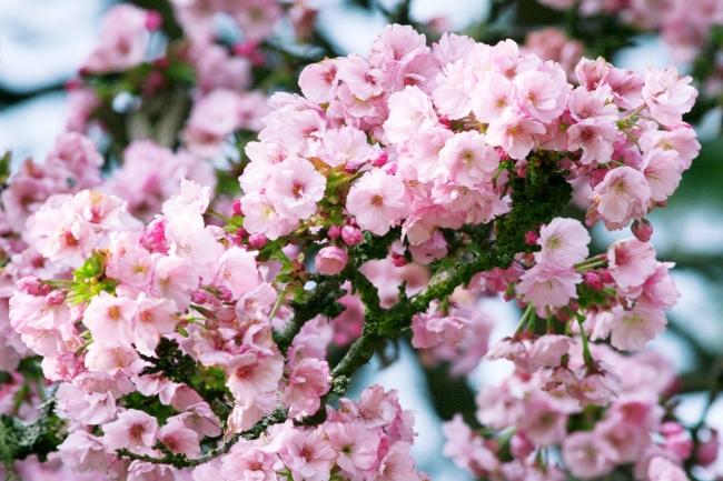 7詩情畫意的櫻花   三