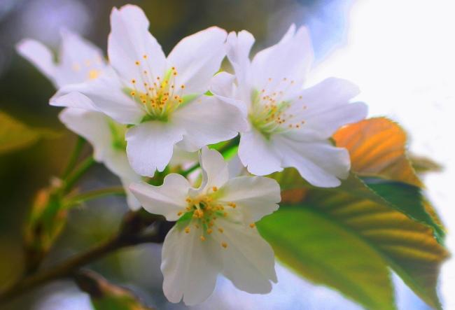 8詩情畫意的櫻花   三