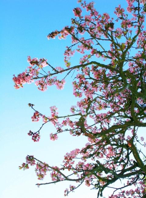 15詩情畫意的櫻花   三