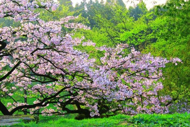 12詩情畫意的櫻花   三
