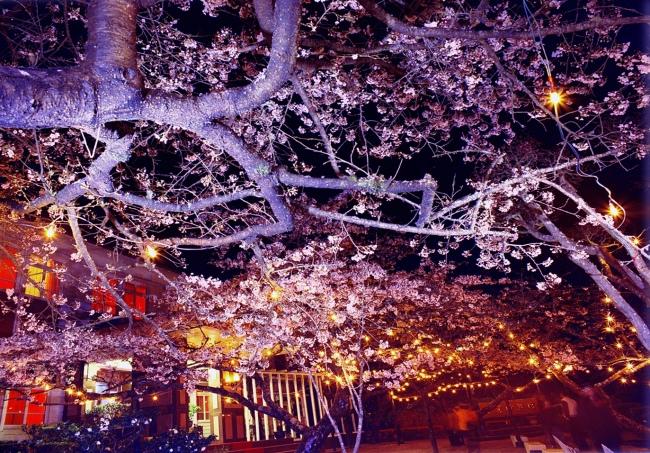 18詩情畫意的櫻花   三