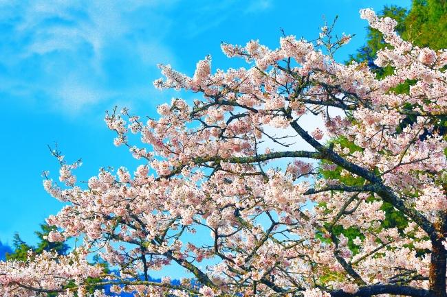 17詩情畫意的櫻花   三