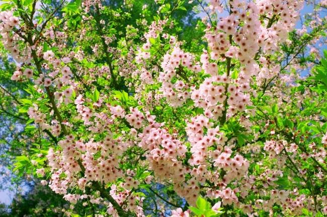 16詩情畫意的櫻花   三