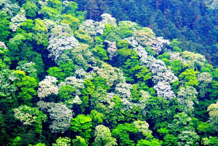 5五月雪油桐花之美一
