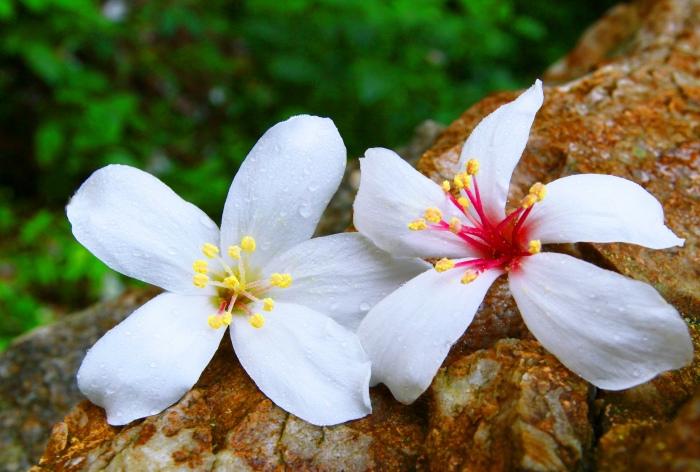 7五月雪油桐花之美一