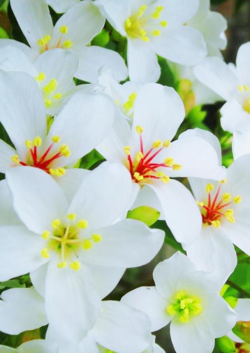 11五月雪油桐花之美一