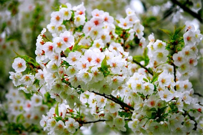 12五月雪油桐花之美一
