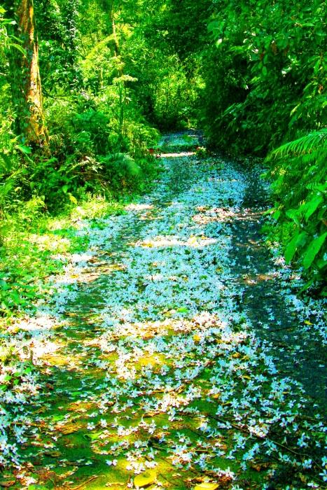 19五月雪油桐花之美一