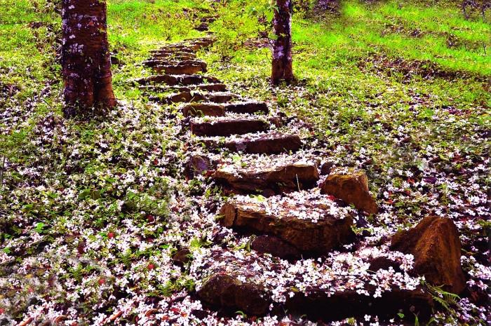 16五月雪油桐花之美一