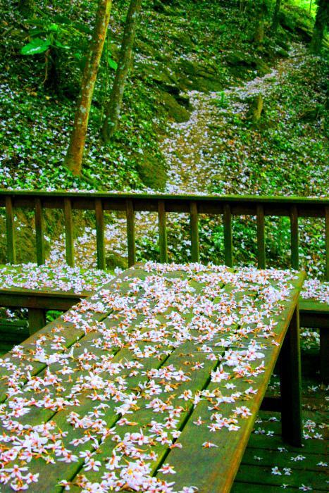 5-1五月雪油桐花之美二