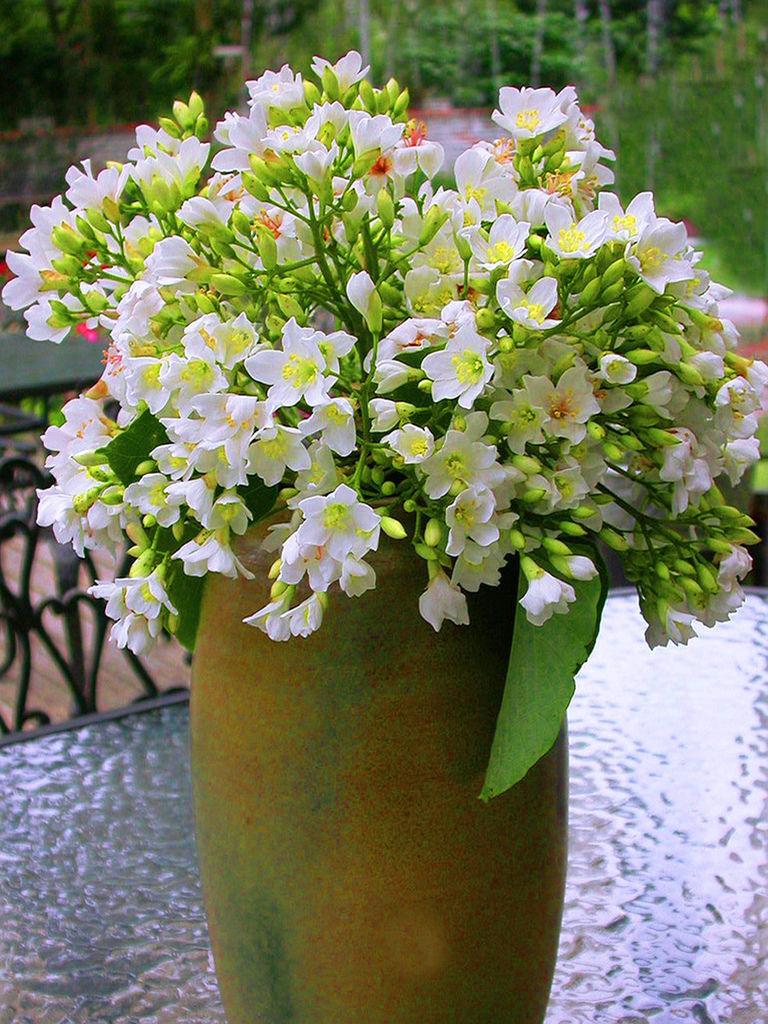 五月雪油桐花之美二 (15)