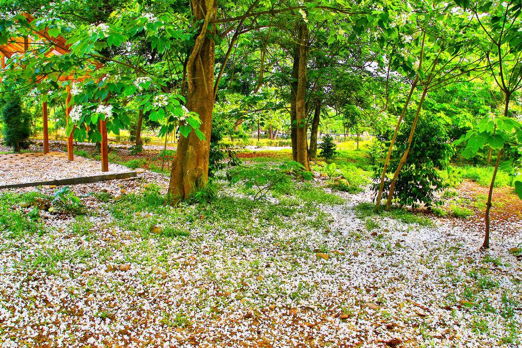 18五月雪油桐花之美二