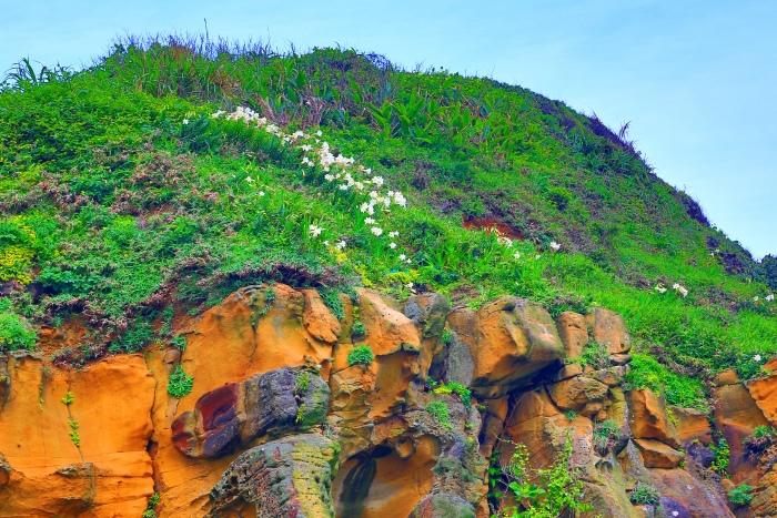 1尋覓台灣野百合的春天