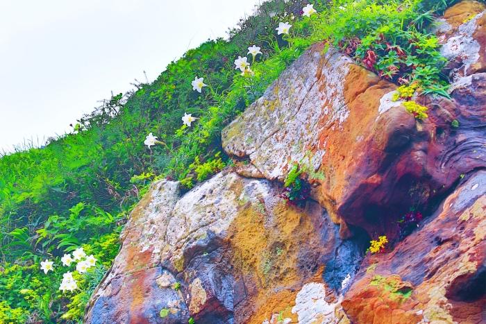 3尋覓台灣野百合的春天